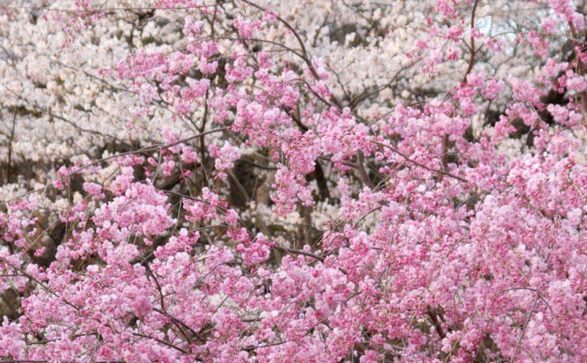 Cherry blossoms, CC BY-SA 2.0 - Kimon Berlin https://www.flickr.com/photos/kimon/3824122302/